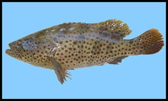 Cá Song (cá Mú) thương phẩm0
